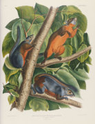 Red-Bellied Squirrel, From 'The Birds Of America', 1827 by Christie's Images