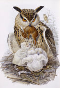A Great Owl and Chicks. The Birds Of Europe by John Gould