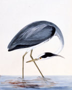 A Heron. From 'The Birds Of Great Britain And Their Eggs'