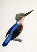 Malagasy Kingfisher. Aleedo Vintsioides by Cyrille Pierre Theodore Laplace