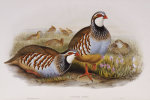 Red Legged Partridges (Caccabis Rubra, The Birds Of Great Britain by John Gould
