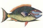 The Parrot Fish, Bahamensis, 1750 by Mark Catesby