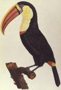 Le Toucan by Francois Le Vaillant