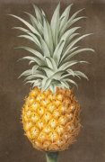 Pineapple from 'Pomona Britannica' by George Brookshaw