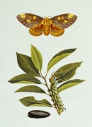 A Rarer Lepidopterous Insects Of Georgia, 1794 by John Abbot