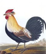 Cock from 'A Selection Of British Birds', 1835 by Robert Havell