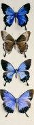 Four Butterflies (Papilo Ulysses)