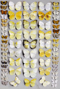Sixty-Seven Lepidoptera In Five Columns Mostly Butterflies
