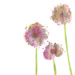 Lilac Allium