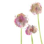 Lilac Allium by Louise Cunningham