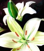 English Lilies