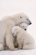 Polar Bear Family by Maxi