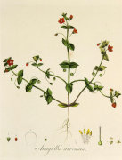Anagallis arvensis by William Curtis