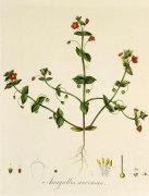 Anagallis arvensis by William Curtis