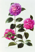 Camellia Japonica by P. Jones