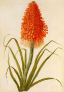 Kniphofia or Red Hot Poker by Claude Aubriet