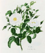 Rosa Alba Maxima or the Great Double White by Mary Lawrance