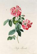 Rosa Gallica Versicolour or Rosa Mundi Rose by Georg Dionysus Ehret