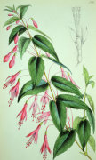 Fuchsia Coccinea, from Botanical Magazine, 1868 by Anonymous