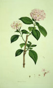 Hydrangea Hortensis, from Icones Pictae Plantarum Rariorum, 1790 by James Sowerby