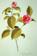 Camellia Japonica, 1823 by John Sibthorp