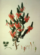 Erica Sebana or Heather, from Delineation of Exotick Plants at Kew by Francis Bauer
