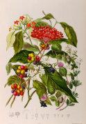 Rubiaceae or the madder tribe by Elizabeth Twining
