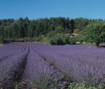 Lavender fields on the Plateau de Sault, Provence, France by Danita Delimont