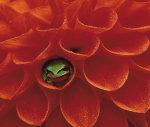 Pacific Chorus Frog in Dahlia by Danita Delimont