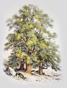 Sycamore Tree (Restrike Etching) by Elizabeth Barnard