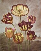 Tulips (Restrike Etching) by George Philip Reinagle