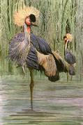 Crowned Crane (Restrike Etching) by Joanna Willard