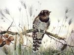 Young Cuckoo (Restrike Etching) by Winifred Austen