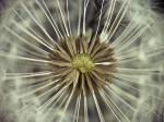 Close-up of dandelion clock by Assaf Frank
