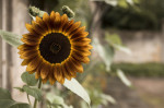 UK, Close-up of Sunflower by Assaf Frank