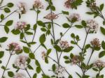 Close-up of Viburnum Juddii flowers and stems design, studio shot by Assaf Frank