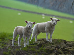 Two lamb standing on field by Assaf Frank