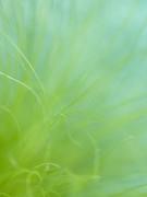 Close-up of spita tenuifolia by Assaf Frank