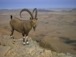 Male Ibex standing on cliff of mountain, Israel, middle east by Assaf Frank