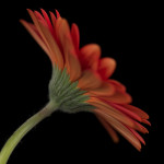 Close-up of red Gerbera daisy by Assaf Frank