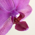 Close-up of orchid flower by Assaf Frank
