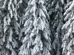 Pine trees covered in snow full frame by Assaf Frank