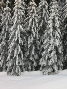 Christmas trees covered in snow 2 by Assaf Frank