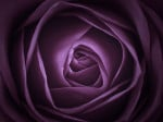 Purple Rose Close-up