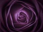 Purple Rose Close-up by Assaf Frank