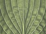 Extreme close-up of hosta leaf, full frame by Assaf Frank