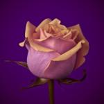 Close-up of rose flower by Assaf Frank