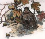 Young Mistle Thrush (Restrike Etching) by Winifred Austen