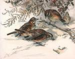 Redwings (Restrike Etching) by Winifred Austen