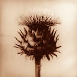 Thistle II by Erin Rafferty